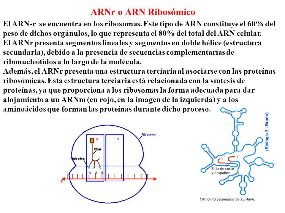 ARNr o ARN Ribosómico El ARN-r se encuentra en los ribosomas. Este tipo de ARN constituye el 60% del peso de dichos orgánulos, lo que representa el 80