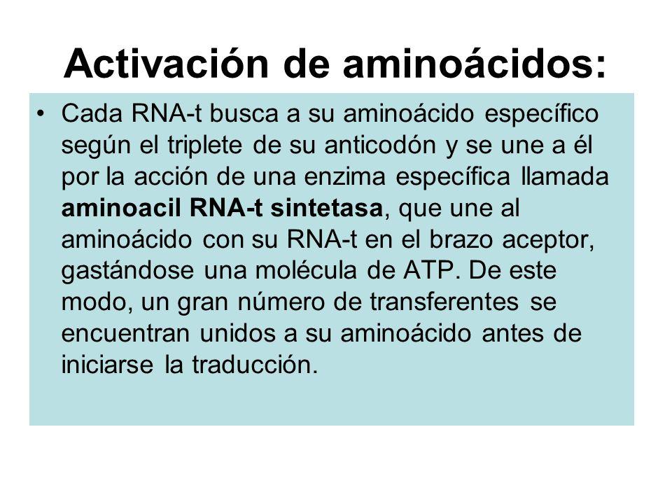 Activación de aminoácidos: Cada RNA-t busca a su aminoácido específico según el triplete de su anticodón y se une a él por la acción de una enzima esp
