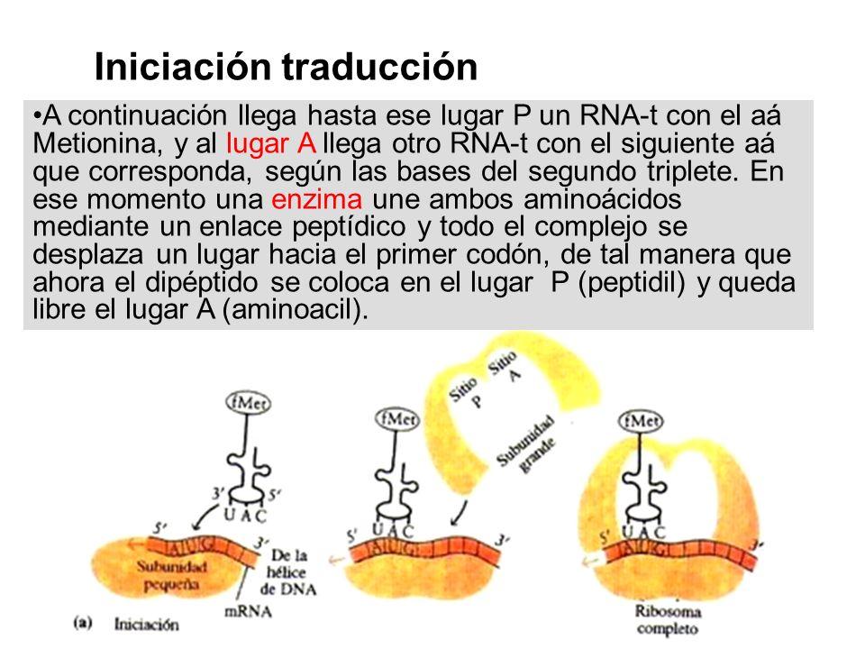 A continuación llega hasta ese lugar P un RNA-t con el aá Metionina, y al lugar A llega otro RNA-t con el siguiente aá que corresponda, según las base