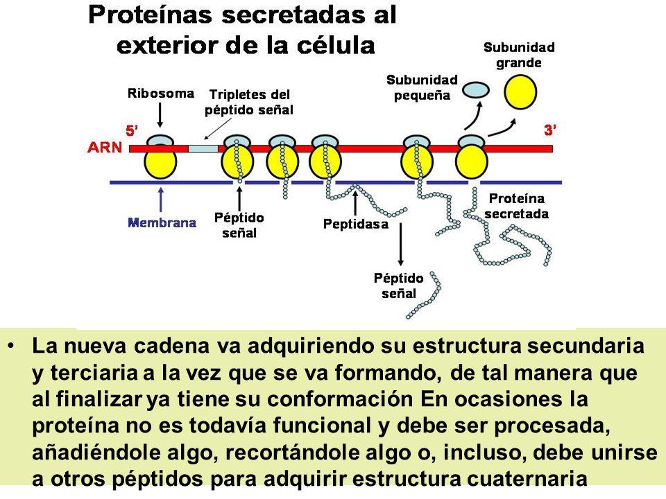 La nueva cadena va adquiriendo su estructura secundaria y terciaria a la vez que se va formando, de tal manera que al finalizar ya tiene su conformaci