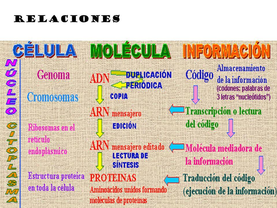 TRADUCCIÓN Transferencia de información del lenguaje de los nucleótidos al de los aminoácidos la información del ADN es transportada por el ARN-m