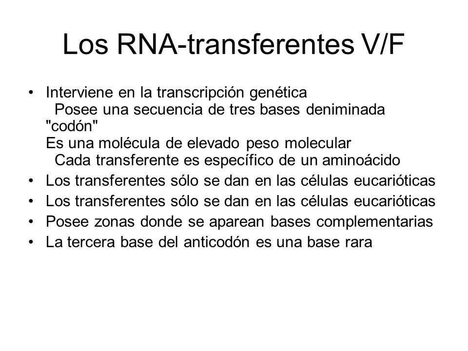 Los RNA-transferentes V/F Interviene en la transcripción genética Posee una secuencia de tres bases deniminada