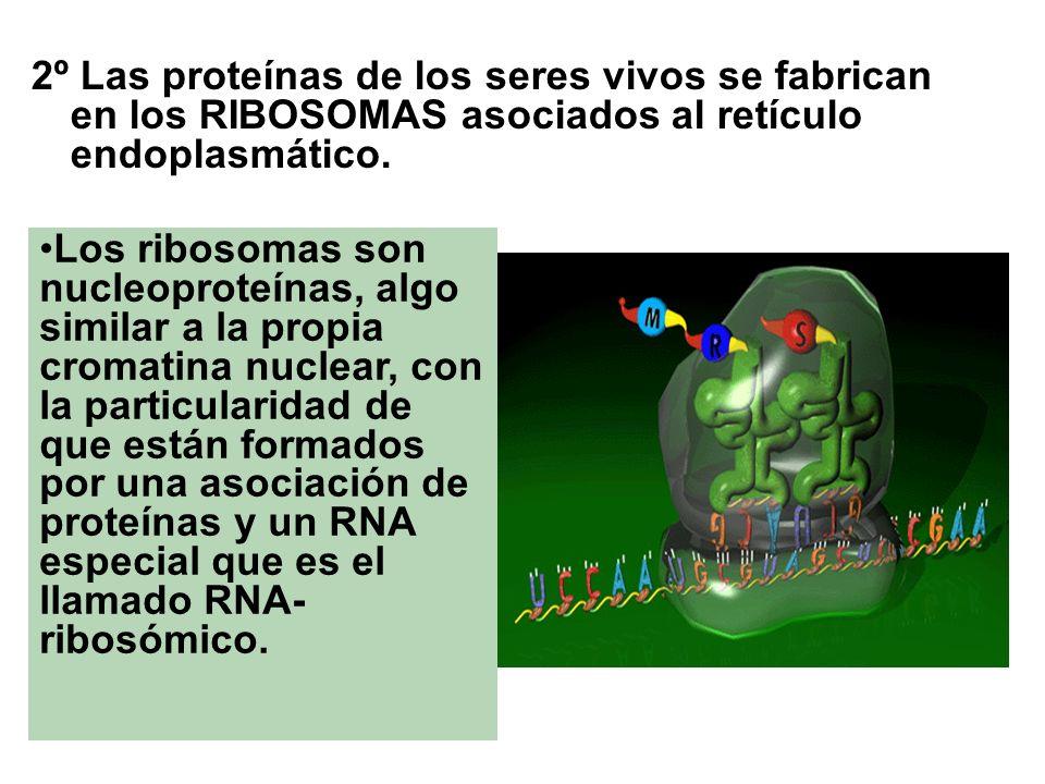 2º Las proteínas de los seres vivos se fabrican en los RIBOSOMAS asociados al retículo endoplasmático. Los ribosomas son nucleoproteínas, algo similar