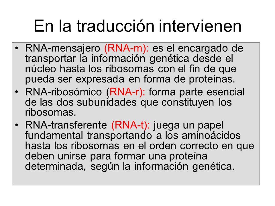 En la traducción intervienen RNA-mensajero (RNA-m): es el encargado de transportar la información genética desde el núcleo hasta los ribosomas con el