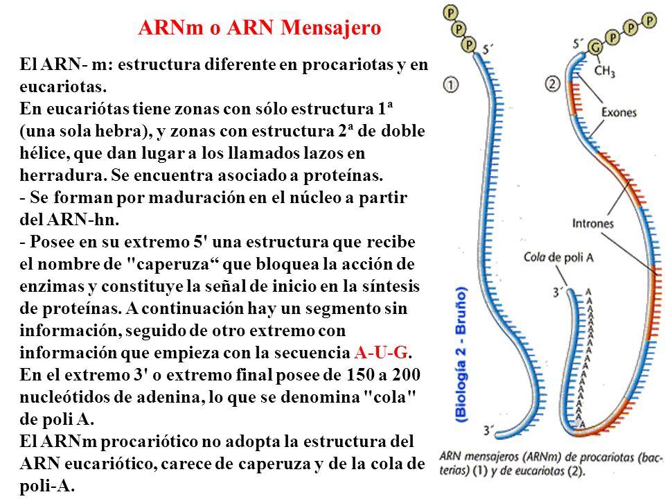 El ARN- m: estructura diferente en procariotas y en eucariotas. En eucariótas tiene zonas con sólo estructura 1ª (una sola hebra), y zonas con estruct