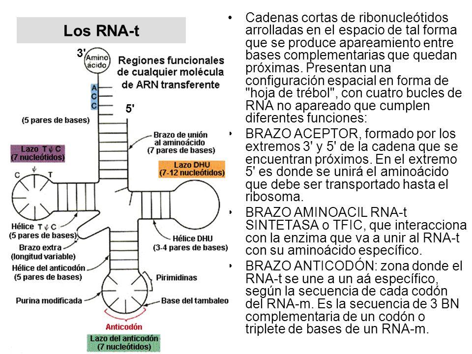 Los RNA-t Cadenas cortas de ribonucleótidos arrolladas en el espacio de tal forma que se produce apareamiento entre bases complementarias que quedan p