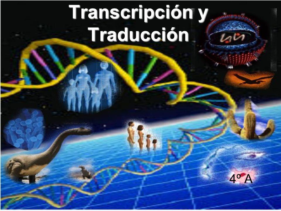 CARACTERÍSTICAS DE LA TRANSCRIPCIÓN Complementaridad de las bases nitrogenadas, de manera que la ARN polimerasa o enzima encargada de llevar a cabo la transcripción toma como molde el ADN para sintetizar ARN