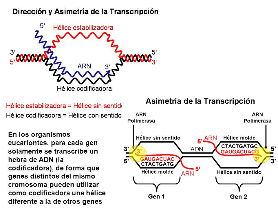 En los organismos eucariontes, para cada gen solamente se transcribe un hebra de ADN (la codificadora), de forma que genes distintos del mismo cromoso