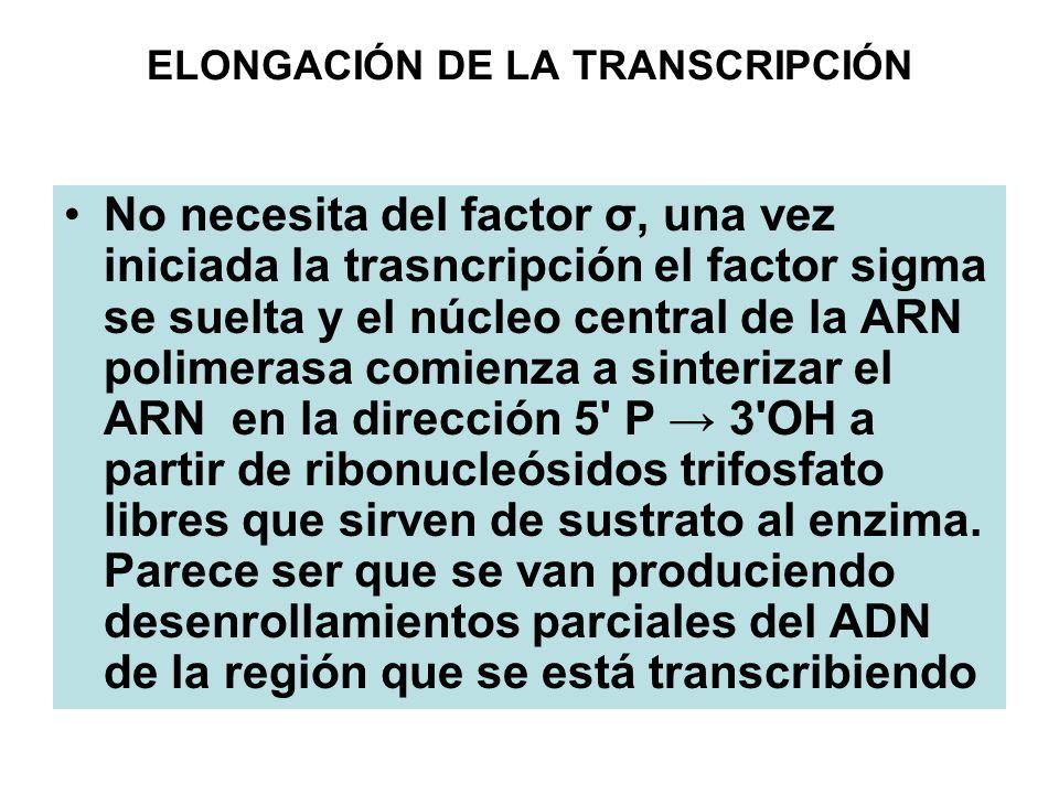 ELONGACIÓN DE LA TRANSCRIPCIÓN No necesita del factor σ, una vez iniciada la trasncripción el factor sigma se suelta y el núcleo central de la ARN pol