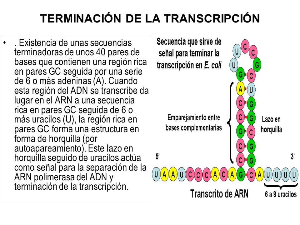 TERMINACIÓN DE LA TRANSCRIPCIÓN. Existencia de unas secuencias terminadoras de unos 40 pares de bases que contienen una región rica en pares GC seguid
