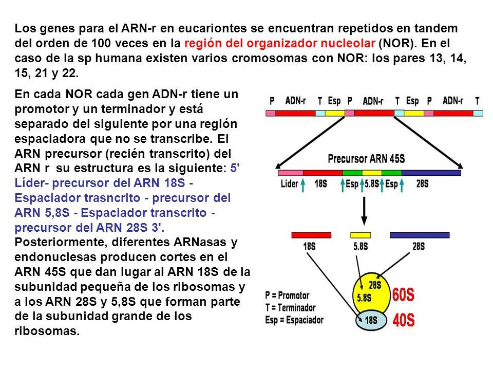 En cada NOR cada gen ADN-r tiene un promotor y un terminador y está separado del siguiente por una región espaciadora que no se transcribe. El ARN pre