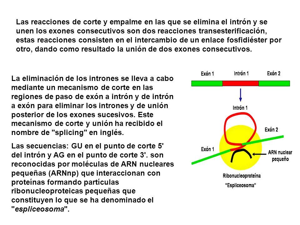 Las reacciones de corte y empalme en las que se elimina el intrón y se unen los exones consecutivos son dos reacciones transesterificación, estas reac
