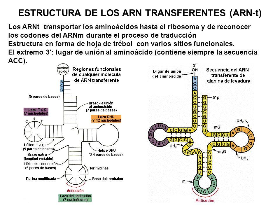 ESTRUCTURA DE LOS ARN TRANSFERENTES (ARN-t) Los ARNt transportar los aminoácidos hasta el ribosoma y de reconocer los codones del ARNm durante el proc