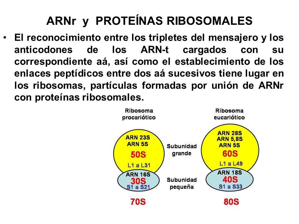 ARNr y PROTEÍNAS RIBOSOMALES El reconocimiento entre los tripletes del mensajero y los anticodones de los ARN-t cargados con su correspondiente aá, as