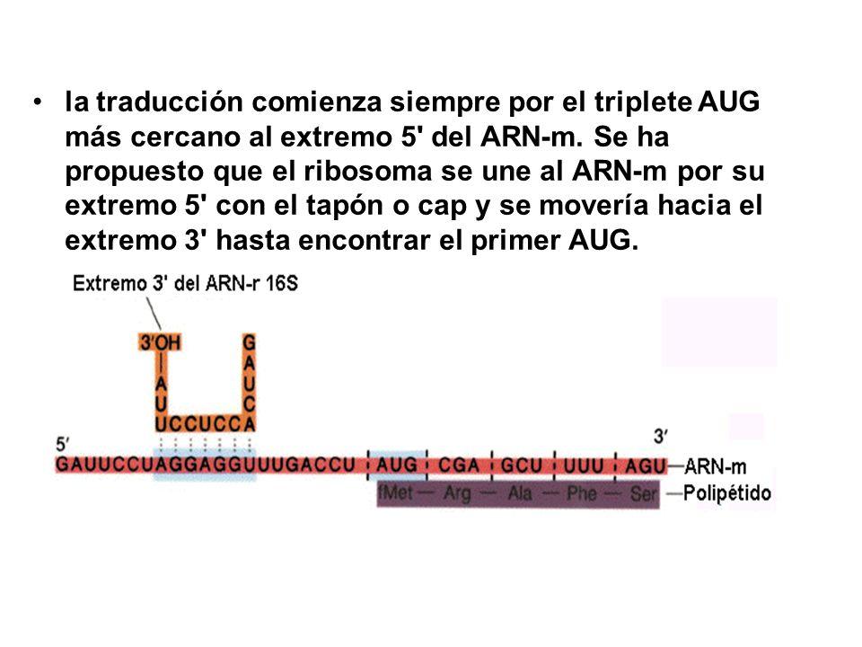 la traducción comienza siempre por el triplete AUG más cercano al extremo 5' del ARN-m. Se ha propuesto que el ribosoma se une al ARN-m por su extremo