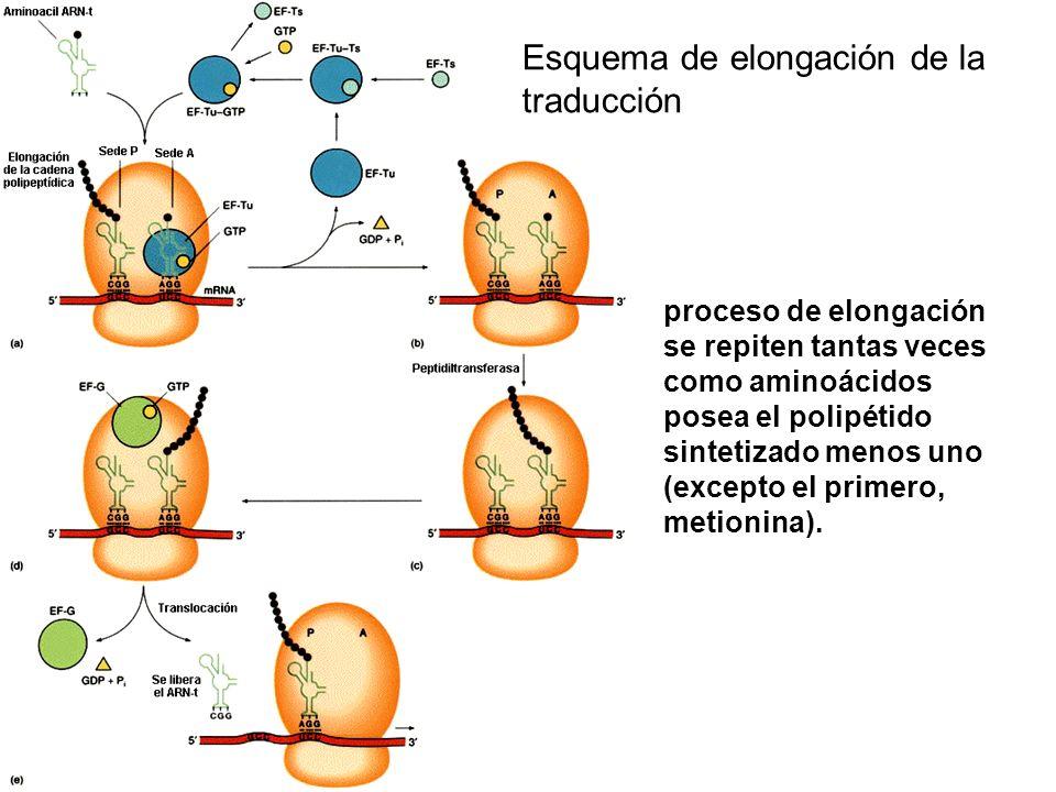 Esquema de elongación de la traducción proceso de elongación se repiten tantas veces como aminoácidos posea el polipétido sintetizado menos uno (excep