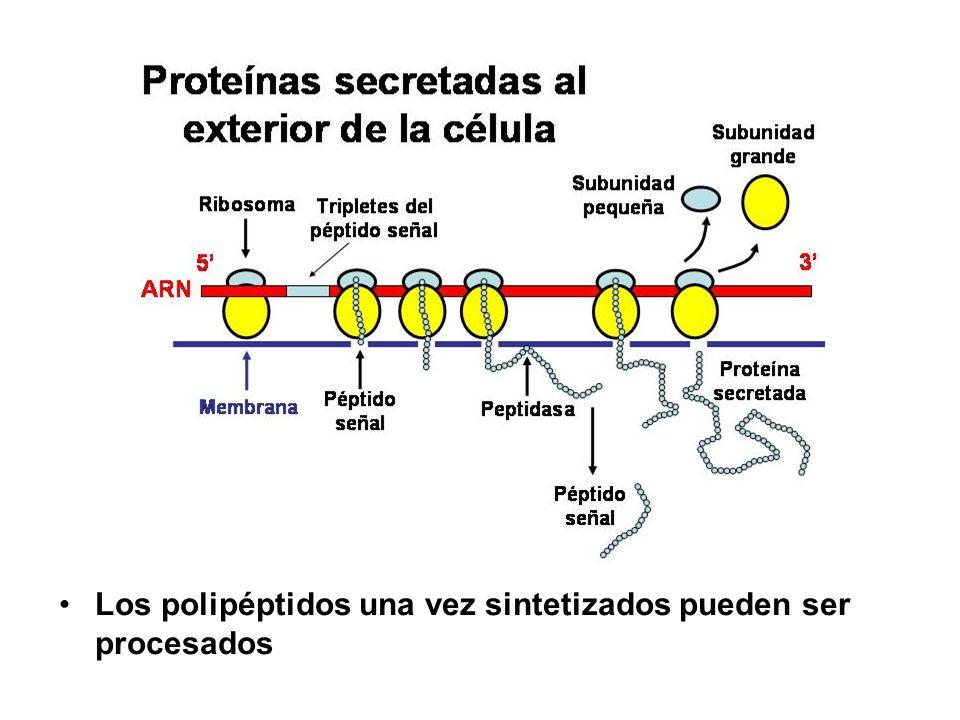 Los polipéptidos una vez sintetizados pueden ser procesados