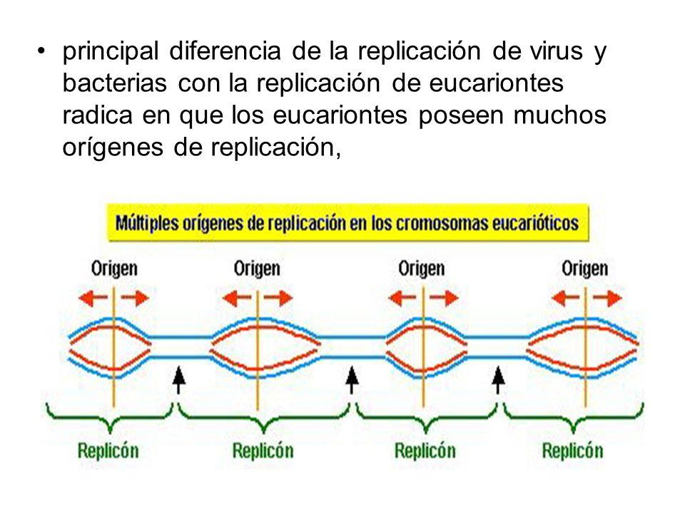 principal diferencia de la replicación de virus y bacterias con la replicación de eucariontes radica en que los eucariontes poseen muchos orígenes de