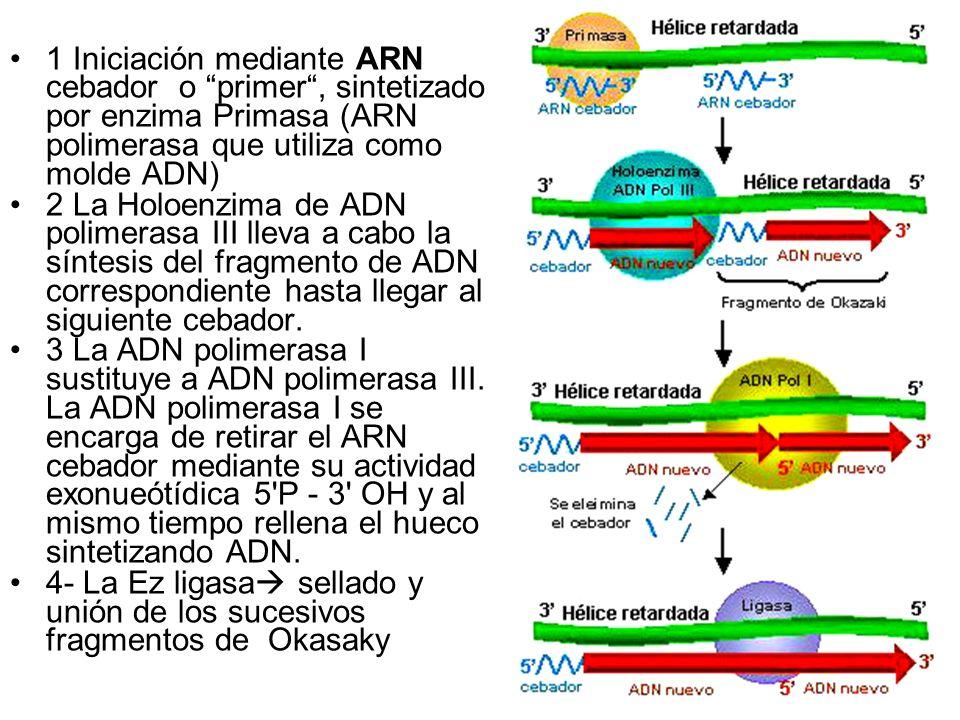 1 Iniciación mediante ARN cebador o primer, sintetizado por enzima Primasa (ARN polimerasa que utiliza como molde ADN) 2 La Holoenzima de ADN polimera