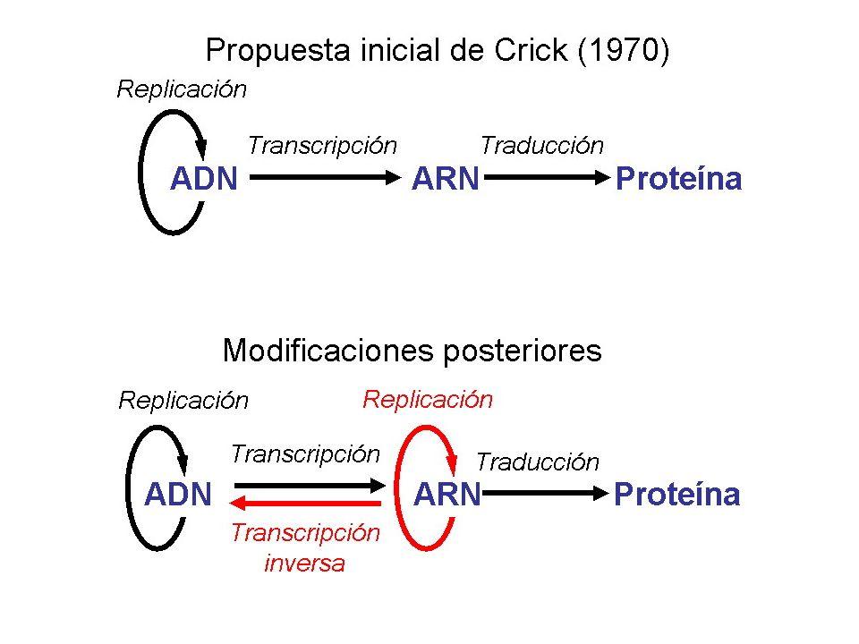 En cada NOR cada gen ADN-r tiene un promotor y un terminador y está separado del siguiente por una región espaciadora que no se transcribe.