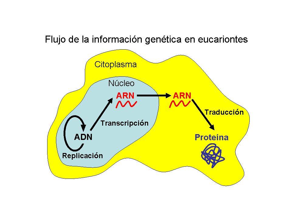 Mediante experimentos de pulso y caza, se suministran precursores radiactivos que marcan específicamente el ARN (uridina tritiada) a las células durante un breve período de tiempo (pulso).