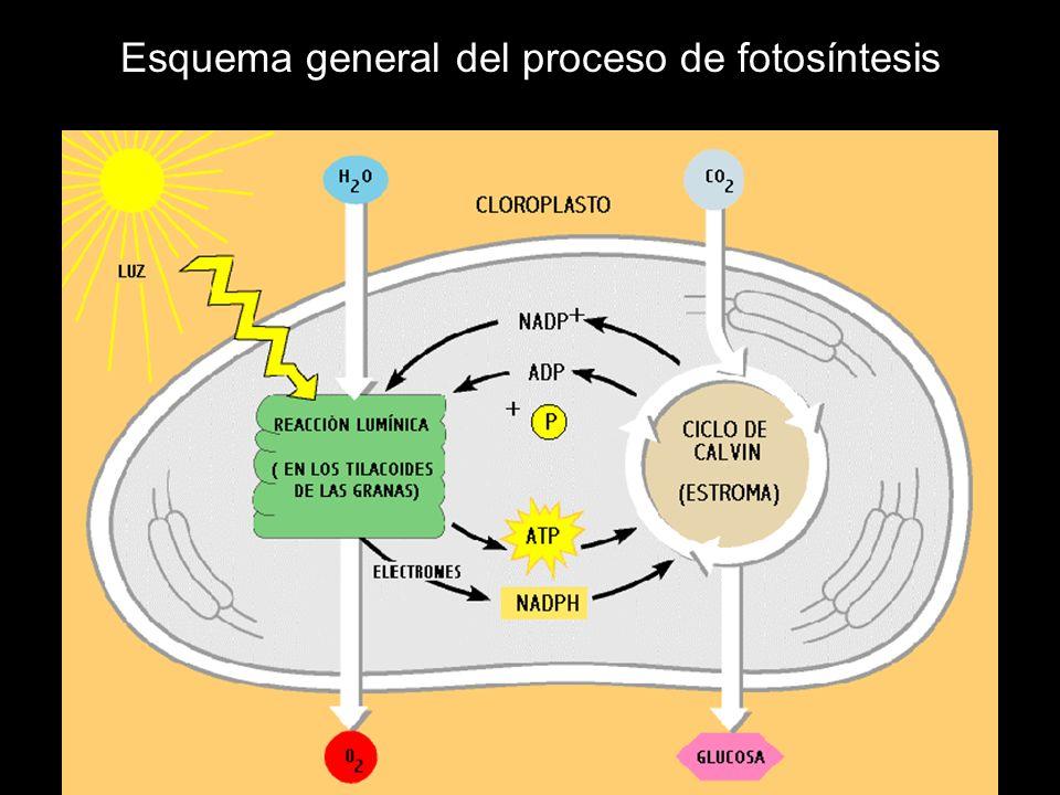 Esquema general del proceso de fotosíntesis