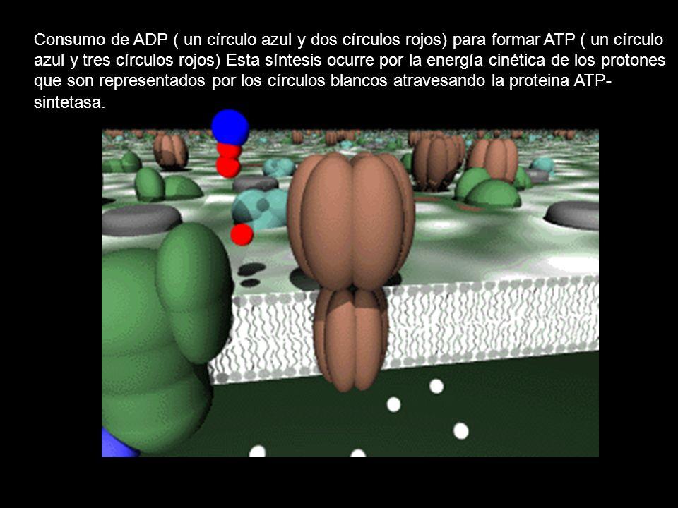 Consumo de ADP ( un círculo azul y dos círculos rojos) para formar ATP ( un círculo azul y tres círculos rojos) Esta síntesis ocurre por la energía ci