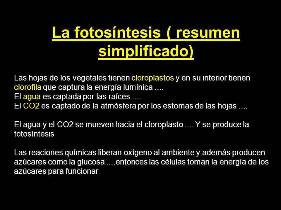 La fotosíntesis ( resumen simplificado) Las hojas de los vegetales tienen cloroplastos y en su interior tienen clorofila que captura la energía lumíni