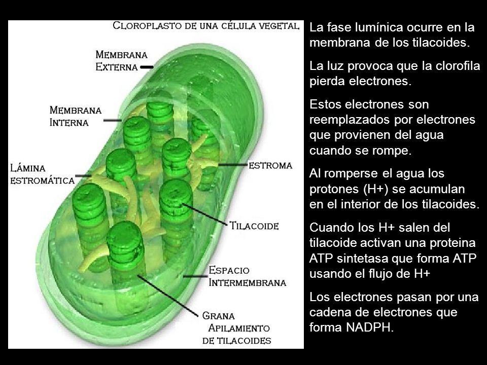 La fase lumínica ocurre en la membrana de los tilacoides. La luz provoca que la clorofila pierda electrones. Estos electrones son reemplazados por ele