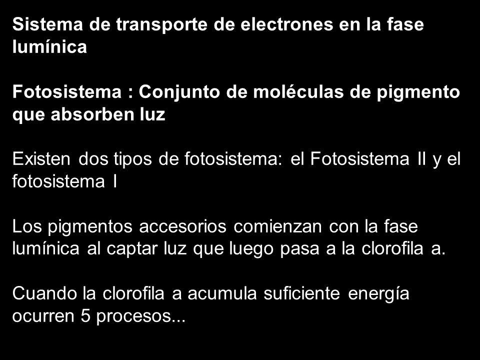 Sistema de transporte de electrones en la fase lumínica Fotosistema : Conjunto de moléculas de pigmento que absorben luz Existen dos tipos de fotosist