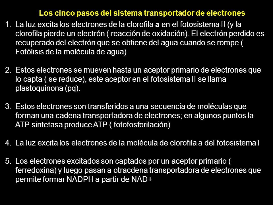 Los cinco pasos del sistema transportador de electrones 1. La luz excita los electrones de la clorofila a en el fotosistema II (y la clorofila pierde