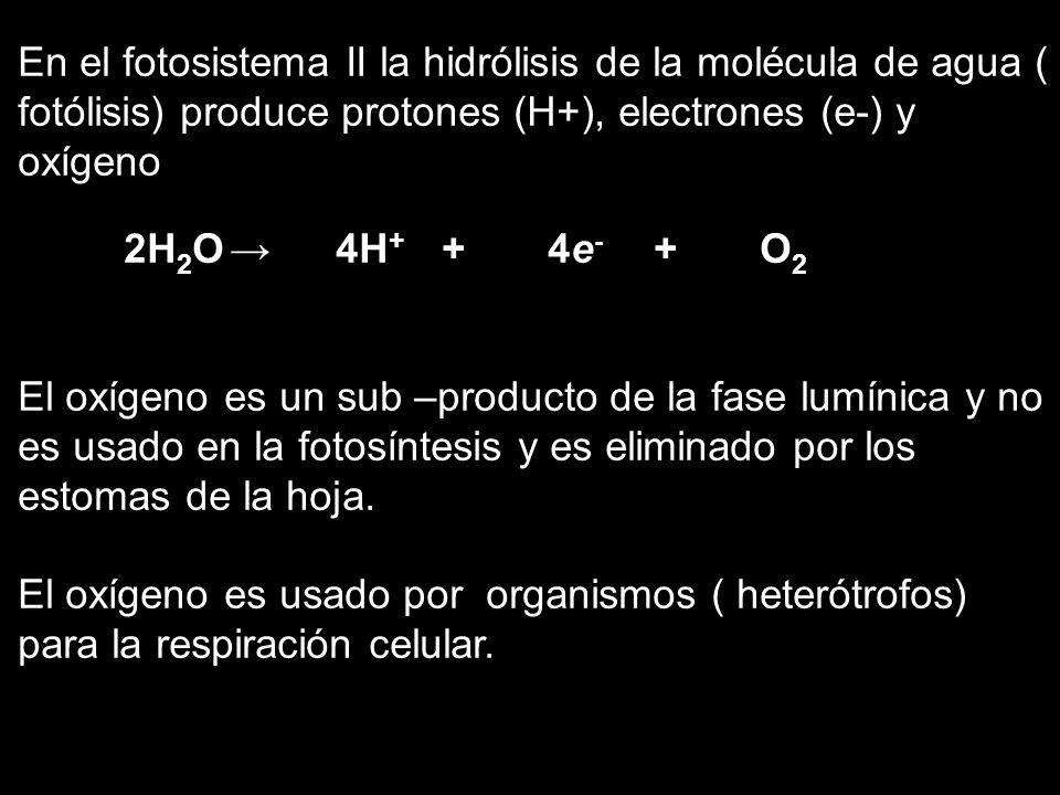 En el fotosistema II la hidrólisis de la molécula de agua ( fotólisis) produce protones (H+), electrones (e-) y oxígeno 2H 2 O4H + + 4e - + O 2 El oxí