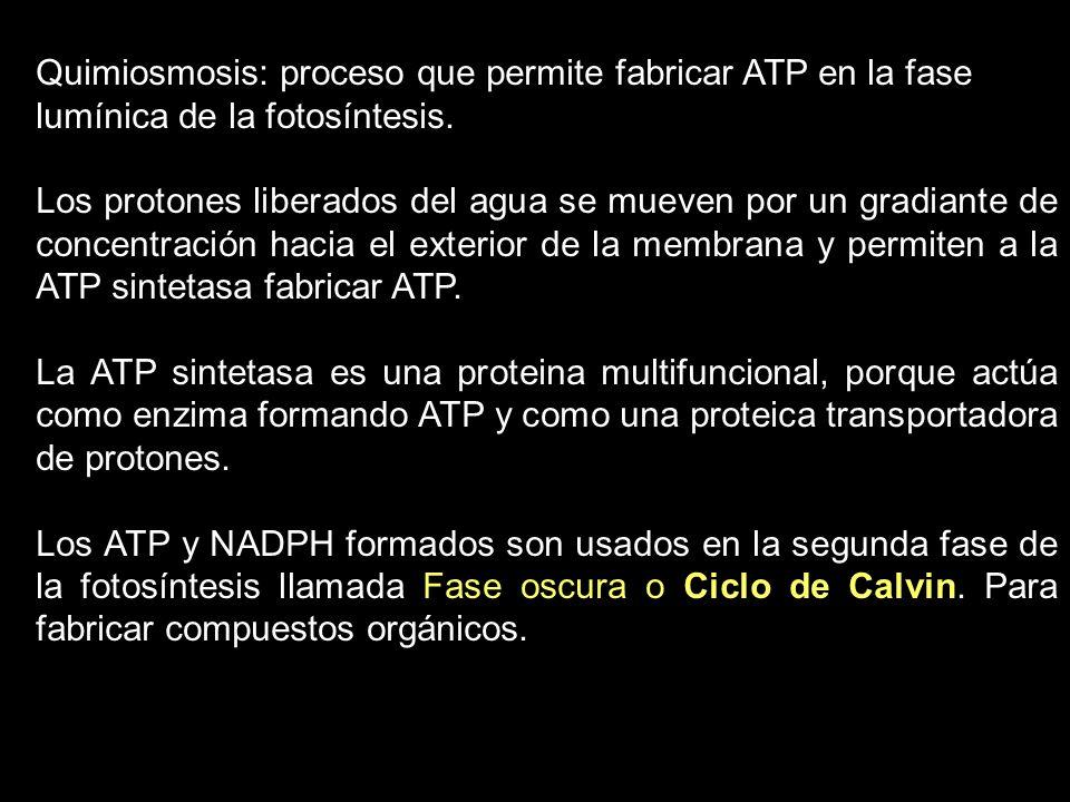 Quimiosmosis: proceso que permite fabricar ATP en la fase lumínica de la fotosíntesis. Los protones liberados del agua se mueven por un gradiante de c