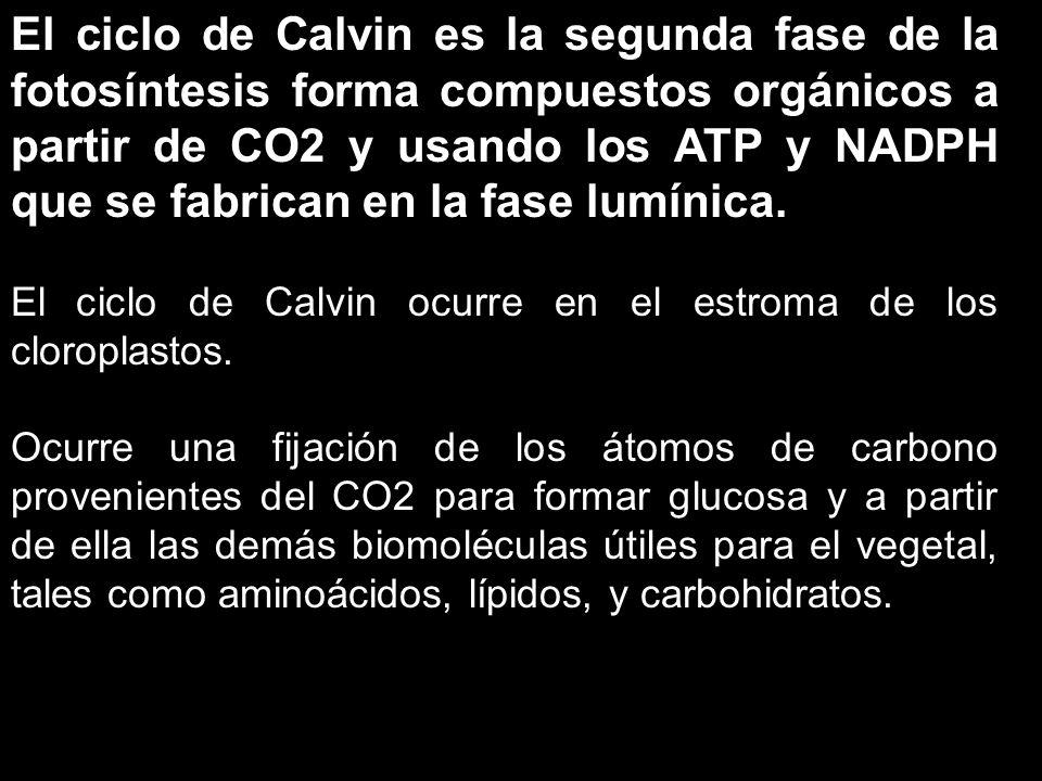 El ciclo de Calvin es la segunda fase de la fotosíntesis forma compuestos orgánicos a partir de CO2 y usando los ATP y NADPH que se fabrican en la fas
