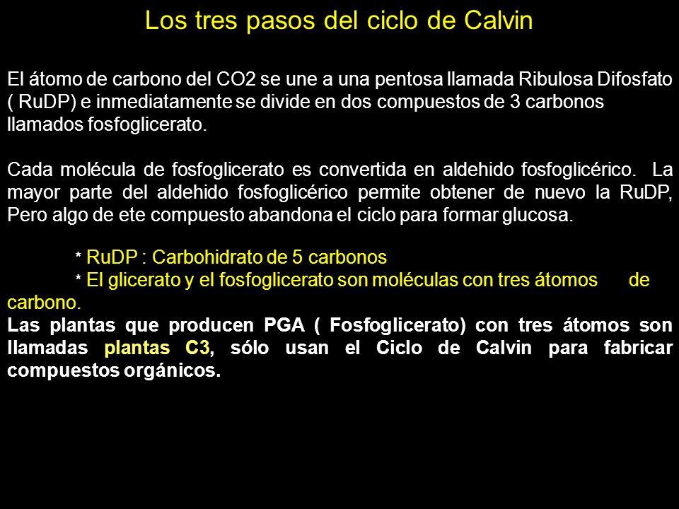 Los tres pasos del ciclo de Calvin El átomo de carbono del CO2 se une a una pentosa llamada Ribulosa Difosfato ( RuDP) e inmediatamente se divide en d