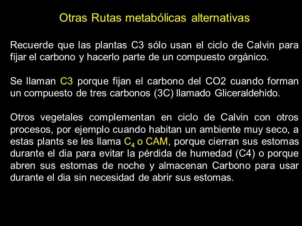 Otras Rutas metabólicas alternativas Recuerde que las plantas C3 sólo usan el ciclo de Calvin para fijar el carbono y hacerlo parte de un compuesto or