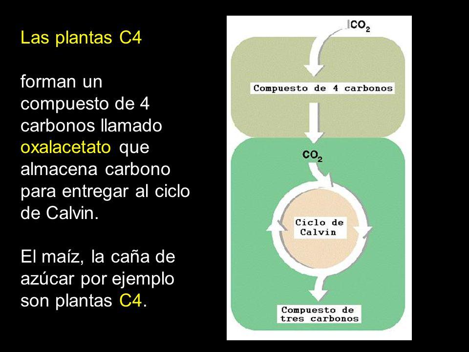 Las plantas C4 forman un compuesto de 4 carbonos llamado oxalacetato que almacena carbono para entregar al ciclo de Calvin. El maíz, la caña de azúcar