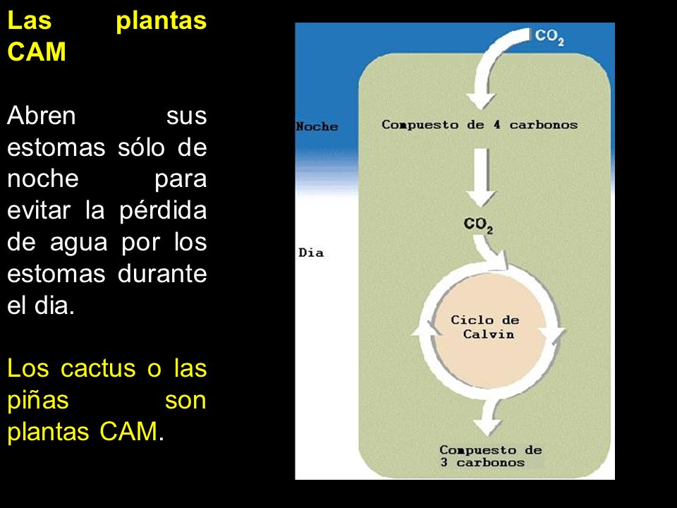 Las plantas CAM Abren sus estomas sólo de noche para evitar la pérdida de agua por los estomas durante el dia. Los cactus o las piñas son plantas CAM.
