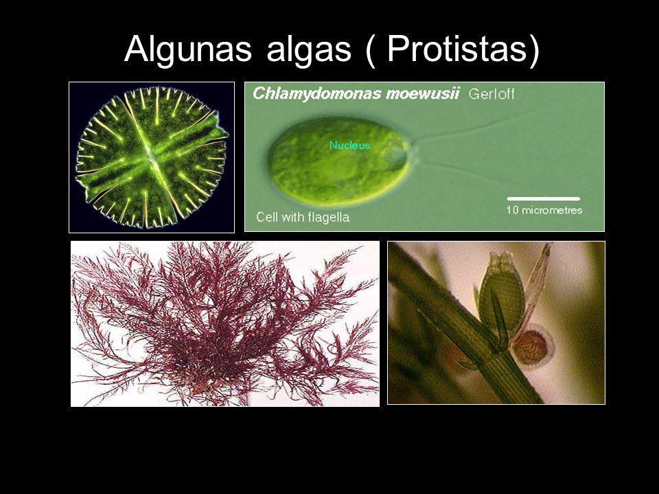 Algunas algas ( Protistas)