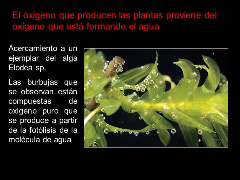 Oxígeno Acercamiento a un ejemplar del alga Elodea sp. Las burbujas que se observan están compuestas de oxígeno puro que se produce a partir de la fot