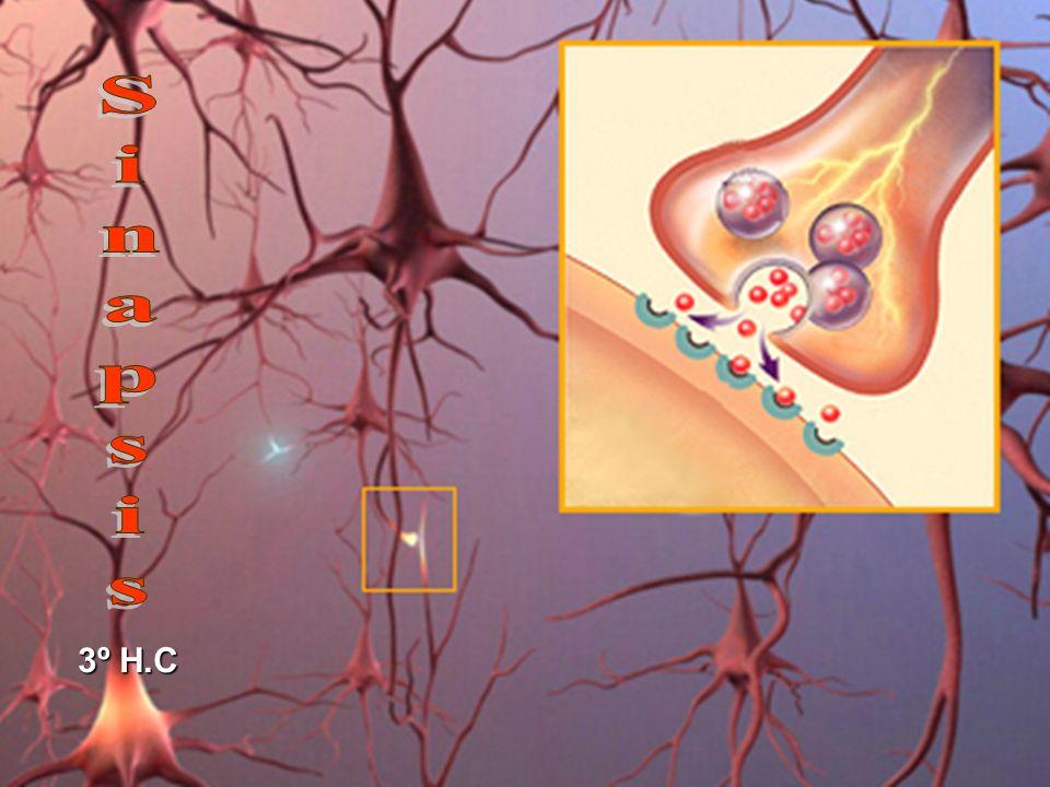 Sinapsis química La mayoría de las sinapsis son de tipo químico, en las cuales el neurotransmisor hace de puente entre las dos neuronas, se difunde a través del estrecho espacio y se adhiere a los receptores, que son moléculas especiales de proteínas que se encuentran en la membrana postsináptica.