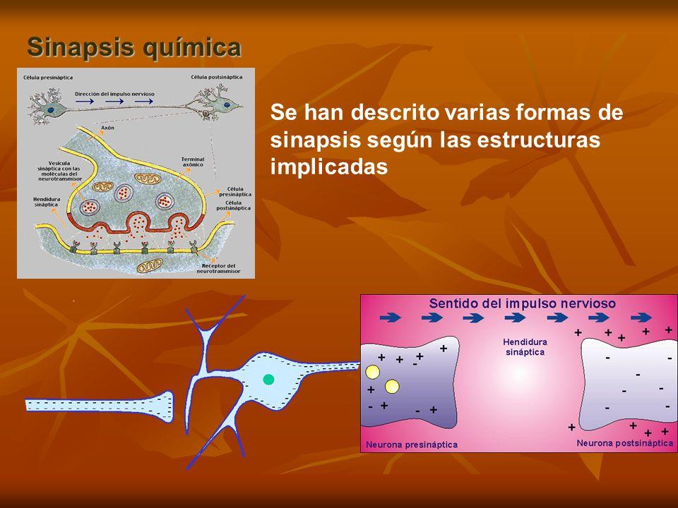 Sinapsis química La mayoría de las sinapsis son de tipo químico, en las cuales el neurotransmisor hace de puente entre las dos neuronas, se difunde a