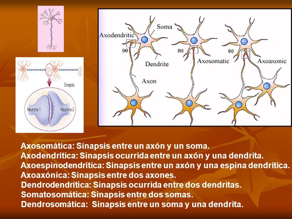 Sinapsis química Se han descrito varias formas de sinapsis según las estructuras implicadas