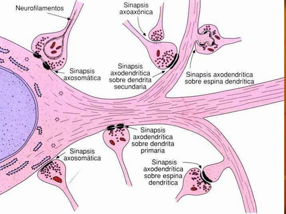 Axosomática: Sinapsis entre un axón y un soma. Axodendrítica: Sinapsis ocurrida entre un axón y una dendrita. Axoespinodendrítica: Sinapsis entre un a