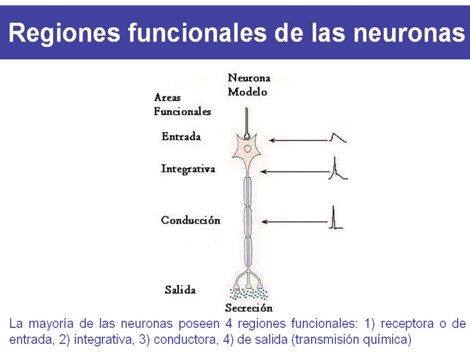 Repacemos… Las neuronas son células polarizadas que reciben señales en las dendritas y envían información a lo largo de los axones en ese momento ocur
