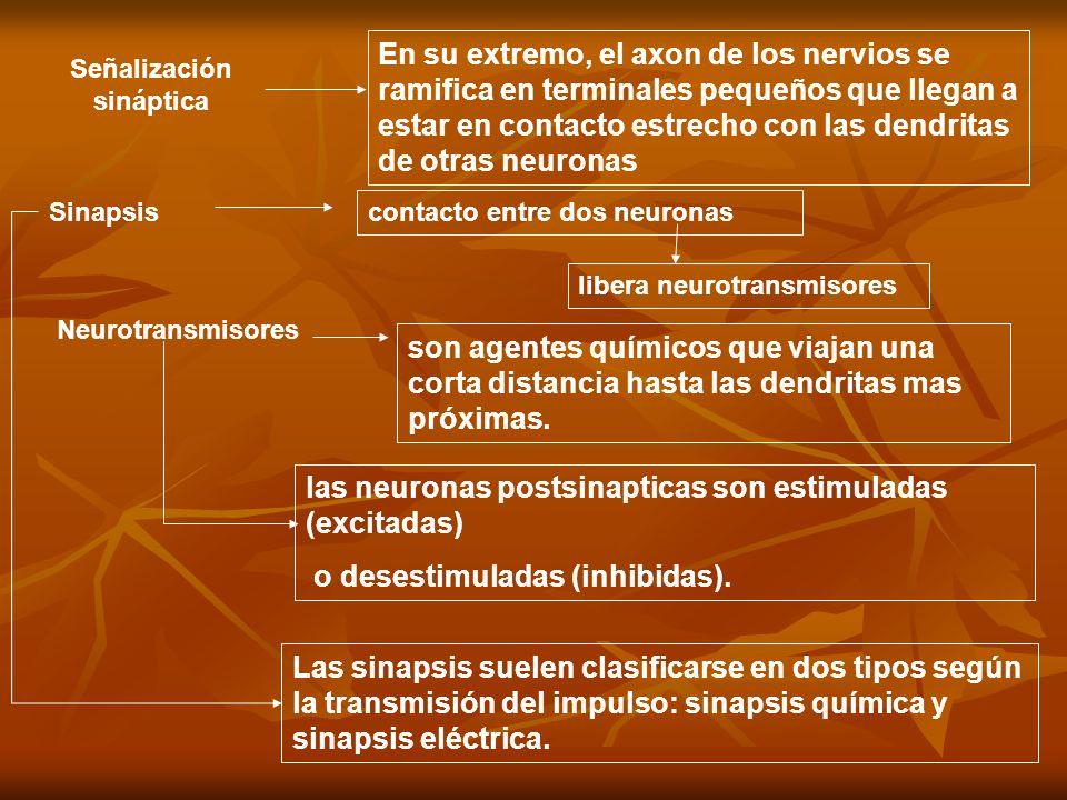 … Conjunto formado por el botón axónico de la neurona presináptica, la membrana receptora adyacente de la neurona postsináptica y el estrecho espacio