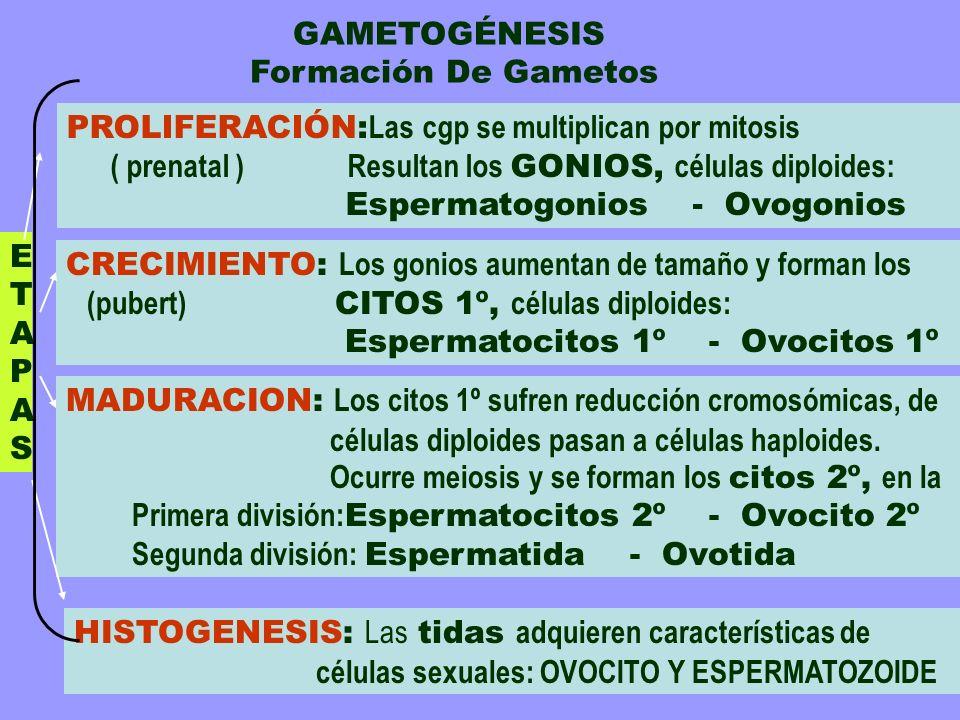 GAMETOGÉNESIS Formación De Gametos ETAPASETAPAS HISTOGENESIS: Las tidas adquieren características de células sexuales: OVOCITO Y ESPERMATOZOIDE MADURA