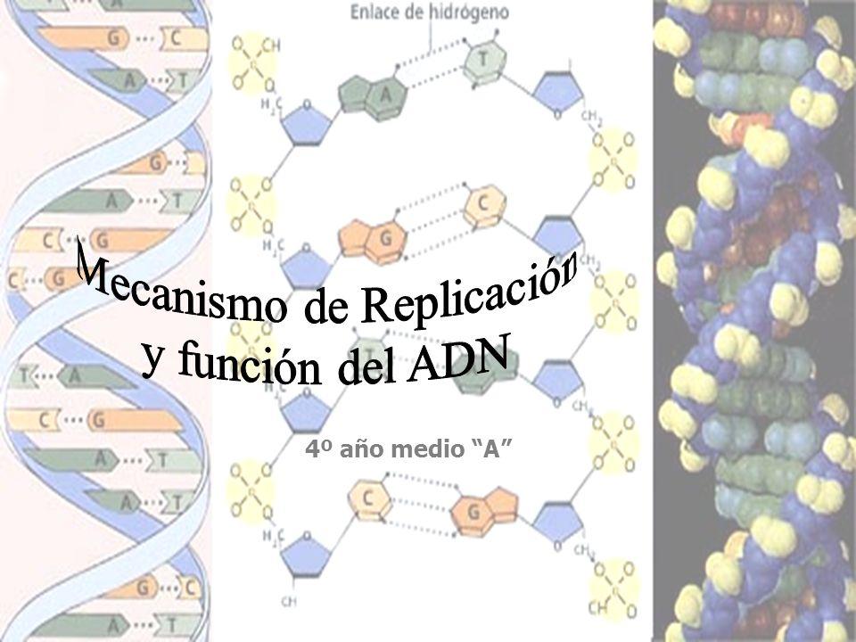 MECANISMO DE DUPLICACIÓN DEL ADN EN PROCARIONTES Es circular y ocurre en tres etapas: 1ª etapa: desenrrollamiento y apertura de la doble hélice en el punto origen.