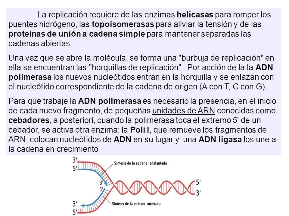 La replicación requiere de las enzimas helicasas para romper los puentes hidrógeno, las topoisomerasas para aliviar la tensión y de las proteínas de u
