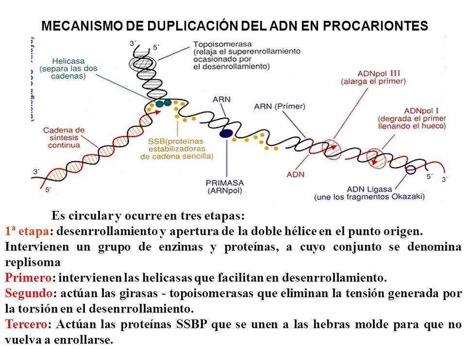 MECANISMO DE DUPLICACIÓN DEL ADN EN PROCARIONTES Es circular y ocurre en tres etapas: 1ª etapa: desenrrollamiento y apertura de la doble hélice en el